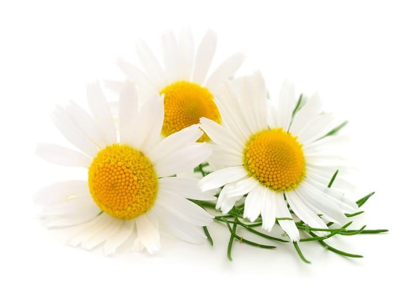 Kamille auf weißem Hintergrund